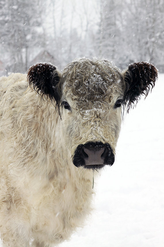 Beautiful white furry cow in the snow by Lucy Snowe