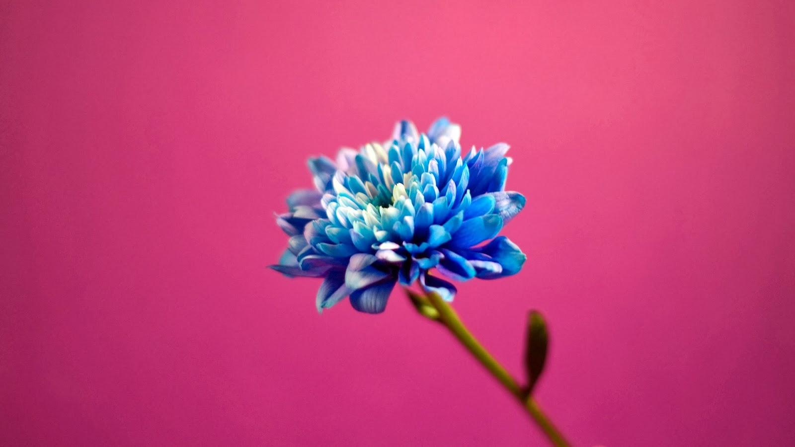 Mujeres Música Katy Perry Cabello Azul Desgaste Cantantes: Flor Azul Fondo Rosado