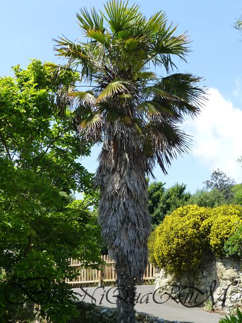 Botaniquarium - Trachycarpus fortunei tree