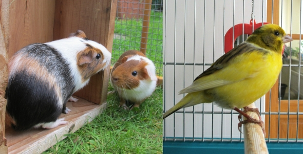Guinea Pigs and Canary pets hazelfishercreations