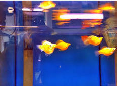 Ikan Hias Air Tawar Jenis Balon dan cara memelihara
