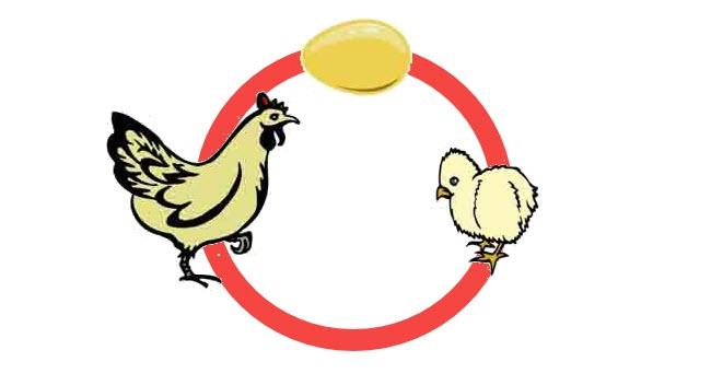Daur Hidup Ayam