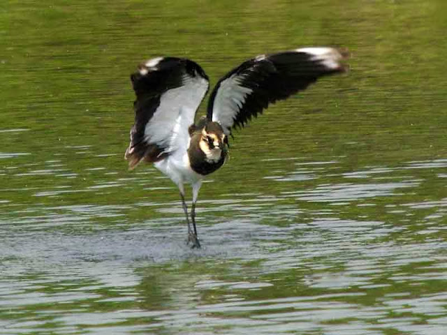 bird, Northern Lapwing takes flight from water
