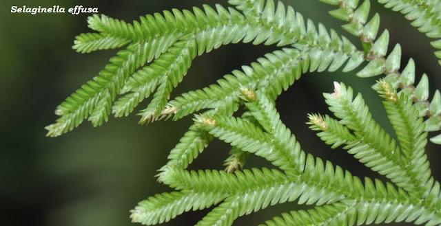 Selaginella effusa