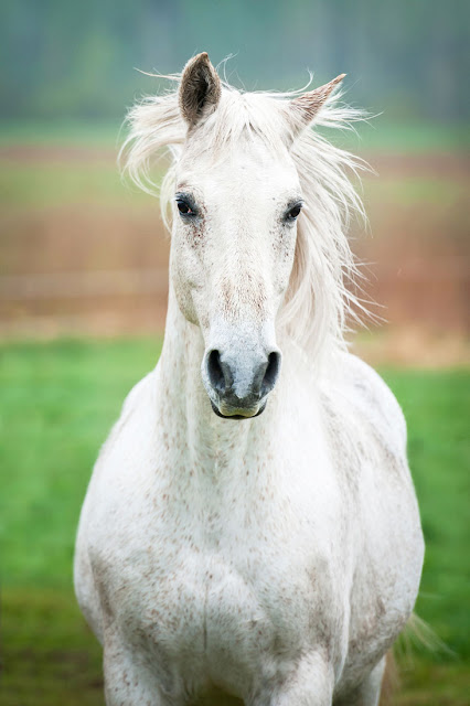 A beautiful white horse in a field, looking at the camera