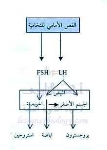 الدورة الشهرية - الطمث - دورة التزاوج - مرحلة نضج البويضة - مرحلة التبويض