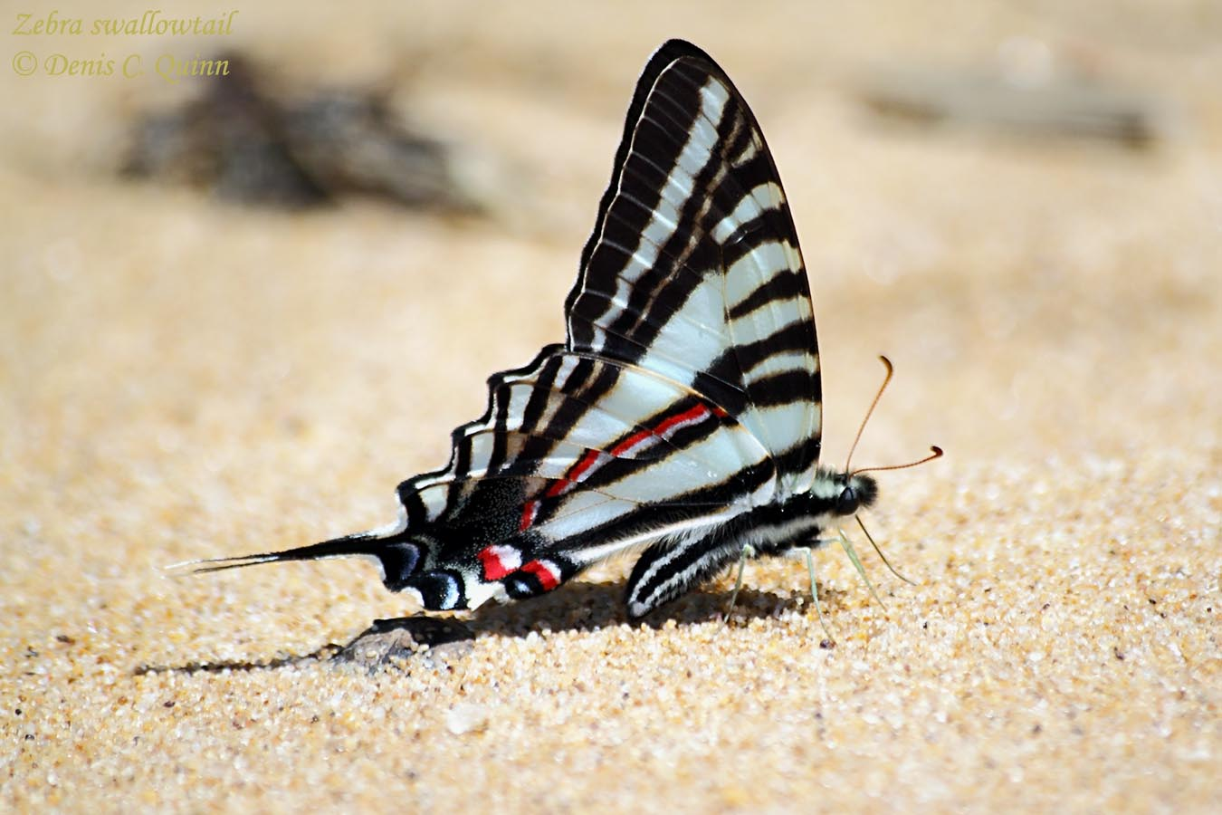 displaying 19 gallery images for zebra swallowtail butterfly