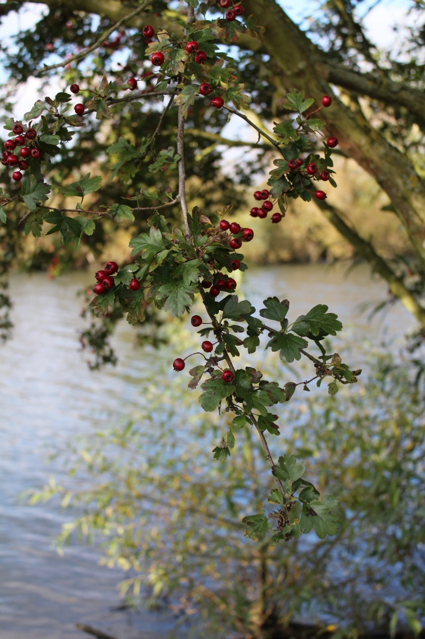 Red berries besides River Thames