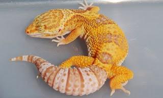 jual gecko jakarta, gecko vallen jambi, jual gecko bandung, jual gecko surabaya, jual gecko kaskus, jual gecko sunglow, jual gecko leopard, jual gecko murah, jual gecko giant, jual gecko murah jakarta, jual gecko semarang, jual gecko albino, jual gecko aft, jual aksesoris gecko, jual anakan gecko, harga gecko anakan, jual anak gecko, harga gecko albino, jual gecko in action surabaya, harga anak gecko, jual gecko blizzard, jual gecko bogor, jual gecko bekasi, jual gecko baby, jual gecko banjarmasin, jual gecko bold stripe, jual gecko besar, jual gecko bell, jual gecko borongan, jual gecko cirebon, jual crested gecko, harga cicak gecko, jual gecko panjang 30 cm, harga crested gecko, jual gecko di jogja, jual gecko di semarang, jual gecko di medan, jual gecko depok, jual gecko di tangerang, jual gecko di lampung, jual gecko di surabaya, jual gecko di jakarta, jual gecko diablo blanco, jual gecko di malang, jual gecko enigma, jual gecko eclipse, jual gecko emerine, harga gecko enigma, jual cat eye gecko, jual leopard gecko enigma, jual gecko female, jual flying gecko, jual fat gecko, jual gecko gresik, jual gecko giant surabaya, jual gecko super giant, jual leopard gecko super giant, harga gecko giant, jual leopard gecko giant, jual halmahera giant gecko, jual gecko hias, jual gecko hypo tangerine, jual hot gecko, harga gecko hias, harga jual gecko, harga hewan gecko, jual gecko import, jual gecko indukan, jual incubator gecko, harga gecko indonesia, jual inkubator gecko, harga indukan gecko, jual gecko jogja, jual gecko jantan, jual gecko jember, jual gecko jungle, jual gecko jinak, jual gecko jambi, jual gecko jawa timur, jual gecko jumbo, harga gecko jakarta, jual gecko, jual gecko kualitas kontes, jual gecko kediri, jual gecko kontes, jual kalsium gecko, jual gecko murah kaskus, jual kandang gecko, jual kadal gecko, jual kandang gecko kaskus, jual leopard gecko kaskus, jual gecko leopard jakarta, jual gecko langka, jual gecko lampung, jual leopard gecko surabaya, ju