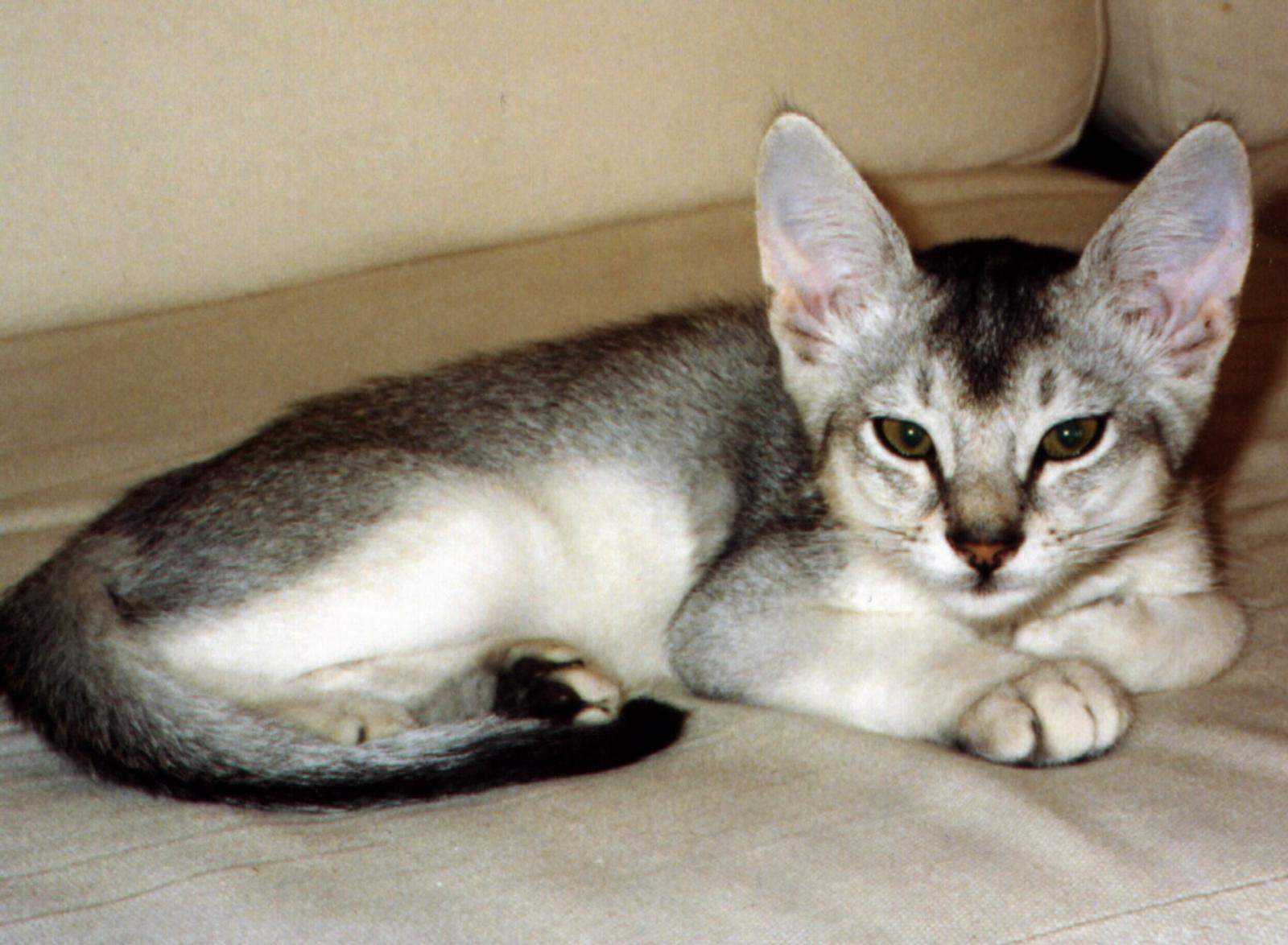 Black Abyssinian Cat keywords and pictures