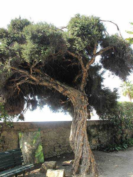 Fotografía del árbol del té o Melaleuca alternifolia