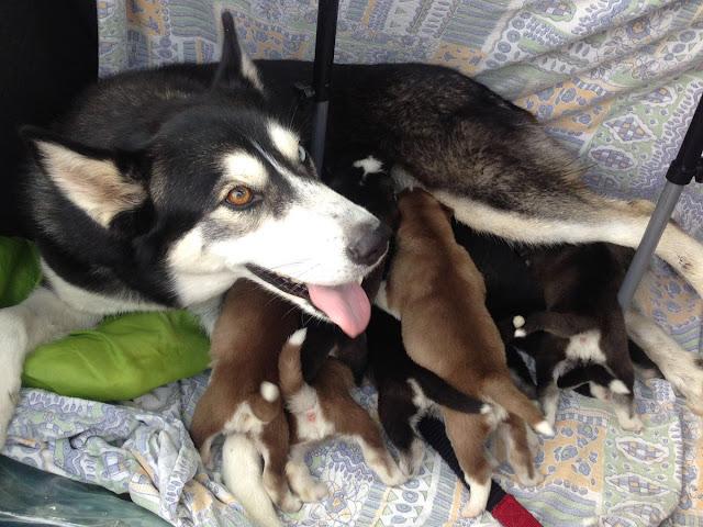 Recuperados cachorros Husky Siberiano