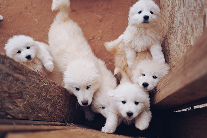 Maremma Sheepdog puppies