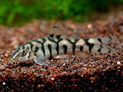 Botia  lohachata ikan hias air tawar