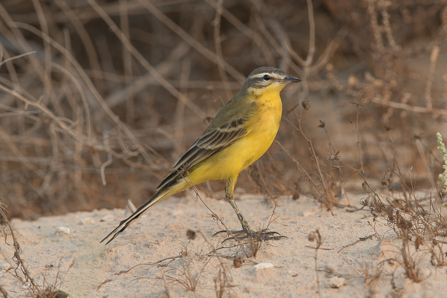 Sykse's Yellow Wagtail