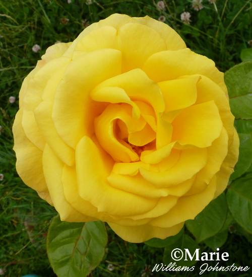 Yellow colour rose rosa flower