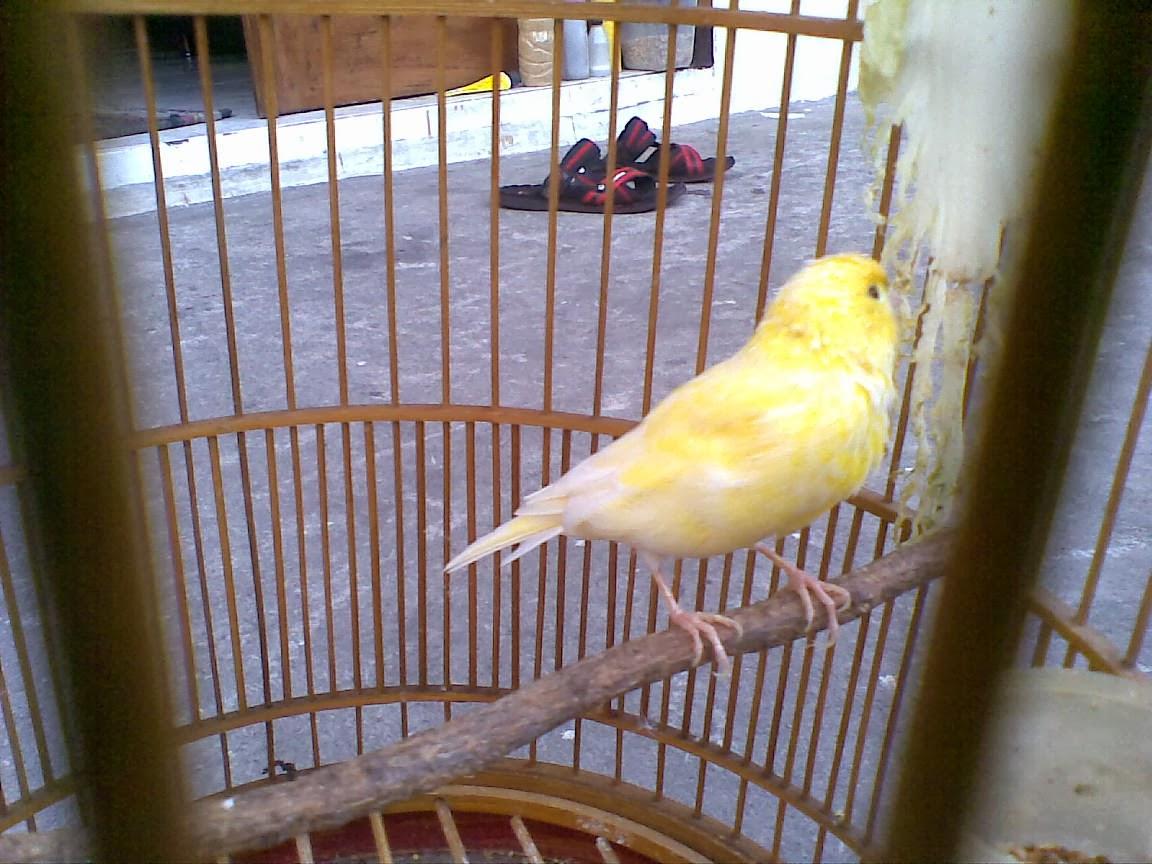 harga burung kenari loper gacor   harga 11