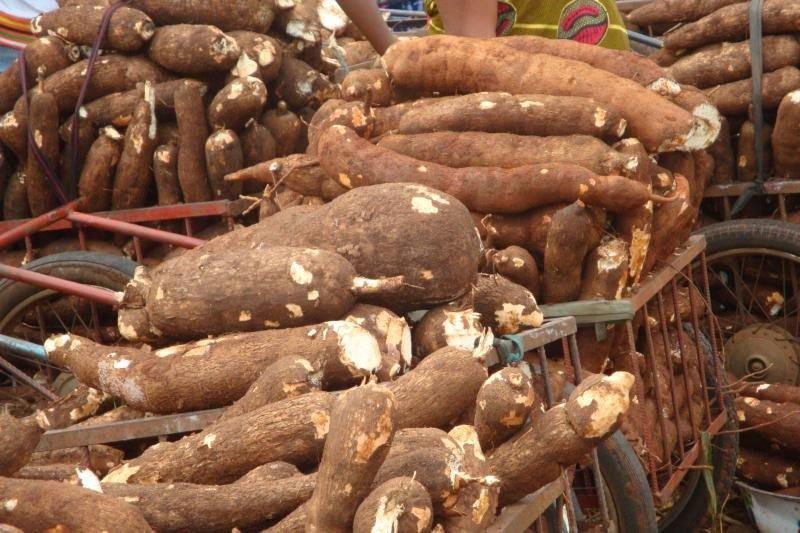 cassava farming business plan philippines children