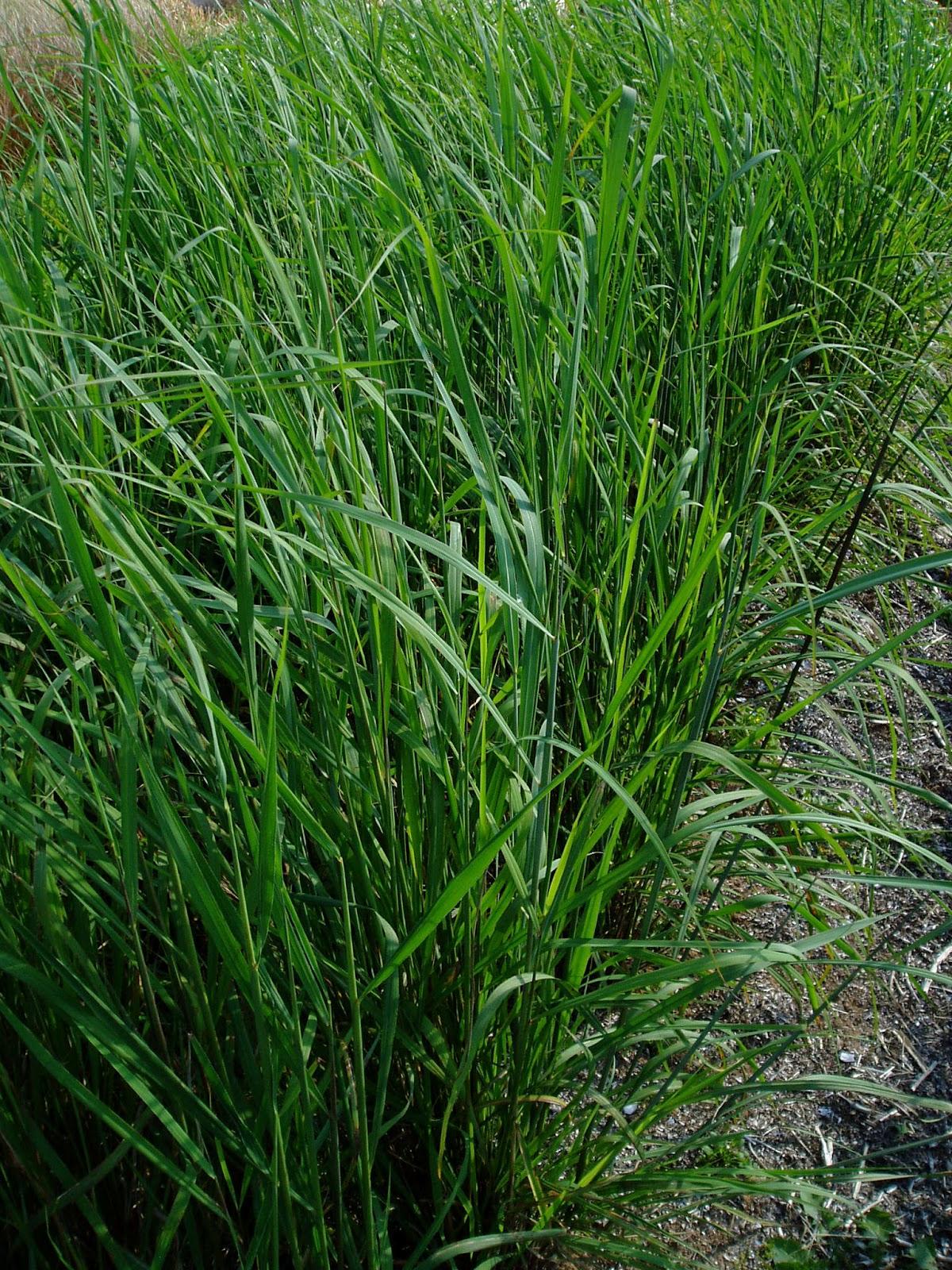 Lovegrass Farm Sorghastrum Nutans Indian Grass At