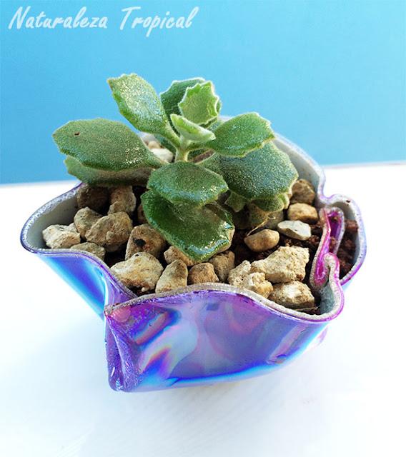 Planta del género Kalanchoe sembrada en una maceta de CD