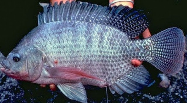 """""""ikan nila nirwana"""""""