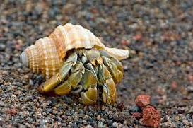 Kepiting Hermit Hewan Peliharaan Omivora Untuk Terarium hewan omnivora