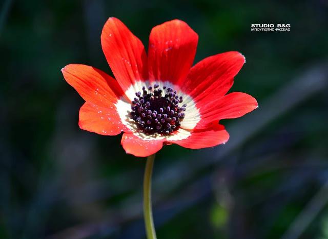 Η φωτογραφία της ημέρας: Ανεμώνη, το λουλούδι του ανέμου