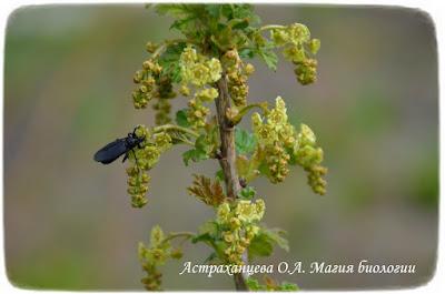 фенофазы, наблюдения весны, смородина цветет, толстоножка на цветах