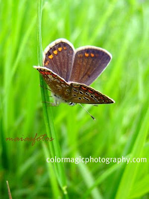Female common blue head down on a grass leaf