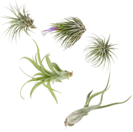 Shop Air Plants