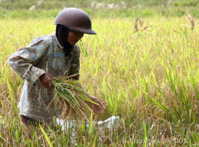 Derep mencari bawon padi