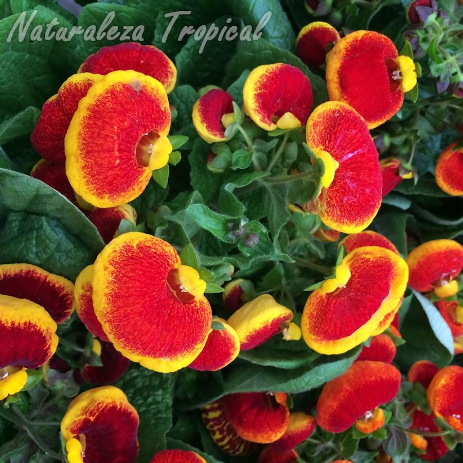 Floración de una planta Zapatillas de Venus, género Calceolaria. Flores amarillas con centro rojo