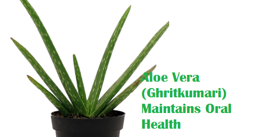 Aloe Vera (Ghritkumari) Maintains Oral Health