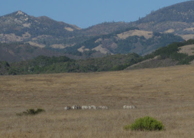 Zebras grazing in tall grass, San Simeon, California