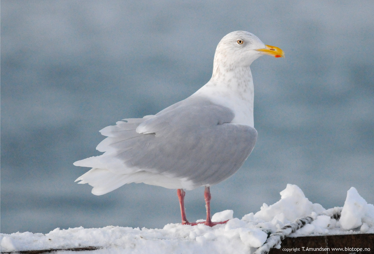 biotope: Varanger harbour life - northern and eastern gulls