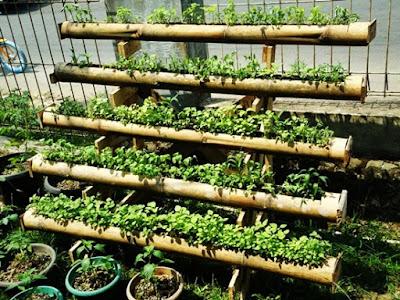 bertani sayur-mayur memanfaatkan bambu bekas secara vertikultur