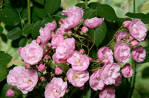 Heavelnly Pink rose сорт розы фото