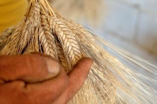 grano saragolla al gusto di Mediterrane, foodfilebasilicata
