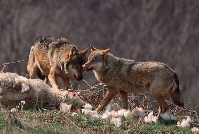 Θεσπρωτία: Αγέλες λύκων κατασπαράζουν μπροστά στα μάτια κτηνοτρόφων ζώα σε χωριά της Θεσπρωτίας