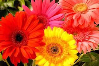 bunga-gerbera
