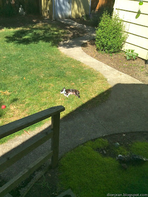 sunbathing Boston terrier