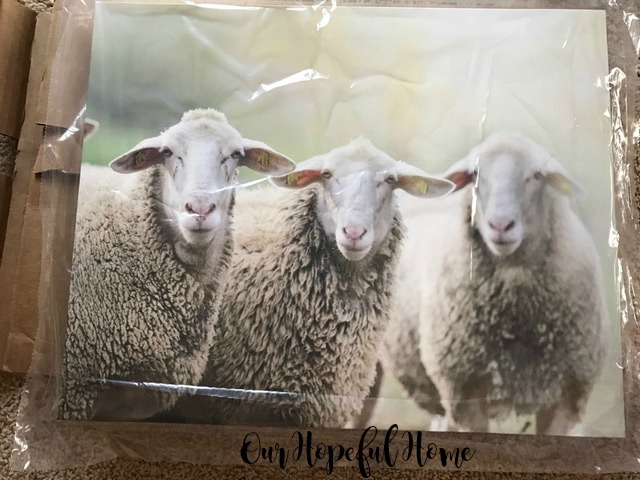 sheep trio photo canvas