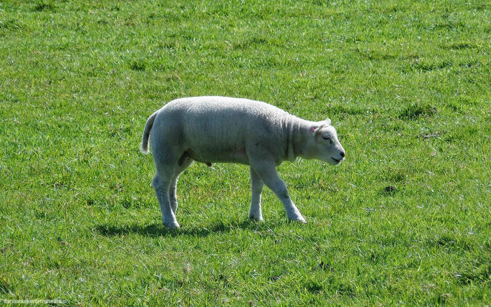 Een close up foto van een jong schaap in de lente