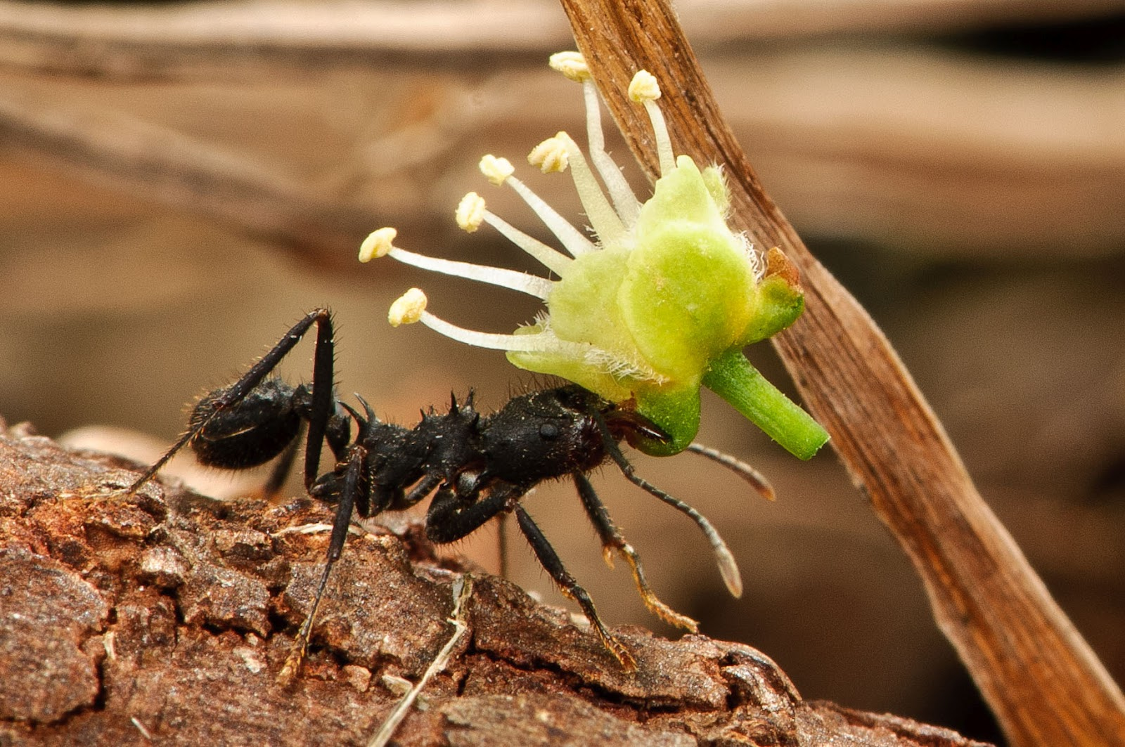 Hormigas Amarillas: Desde Argentina, hormigas cortadoras de hojas.