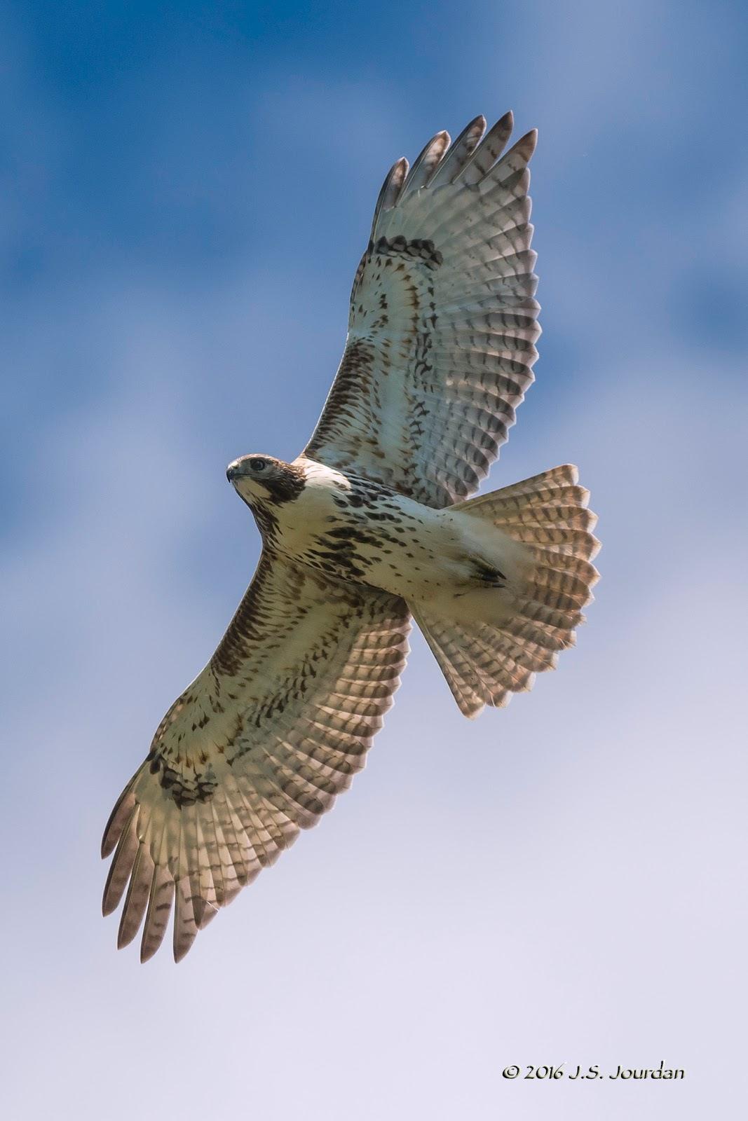 Jerry's Birding / Digiscoping Blog: Detroit River Hawk ...