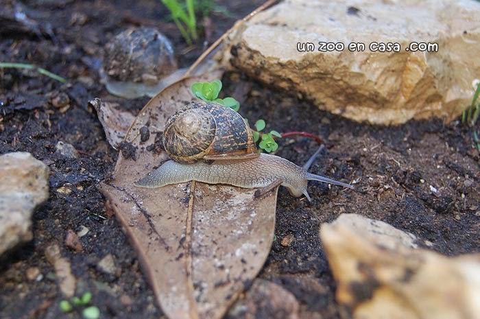 Caracol de jardín (Helix aspersa)