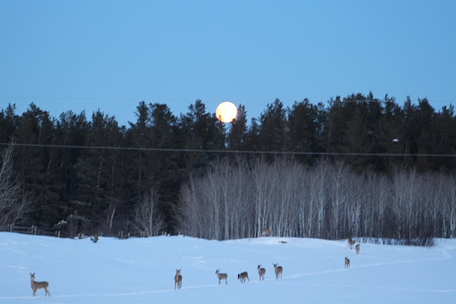 The deer coming across the field under a full moon