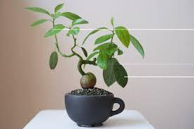 avocado bonsai,bonsai avocado,bonsai avocado tree,avocado tree bonsai,how to bonsai an avocado tree,avocado bonsai tree,how to bonsai avocado tree,can you bonsai an avocado tree,avacado bonsai,bonsai avocado plant