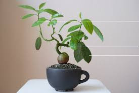 avocado plant, avocado bonsai, avocado tree bonsai, bonsa s, avacodo plant, bonsai avocado, bonsai avocado tree, bonsai avocado trees, diy avocado tree, when to start training bonsai