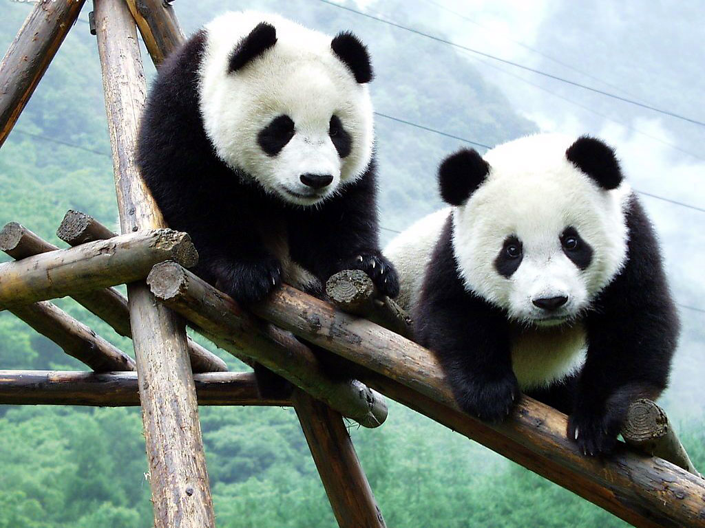 Panda Beautiful Cool Hd Wallpaper 2013 | Beautiful And ...